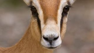Les gazelles Dorcas - Documentaire animalier