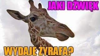 Jaki dźwięk wydaje żyrafa?