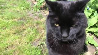 Grumpy black cat high on catnip biting furiously hand slowmotion