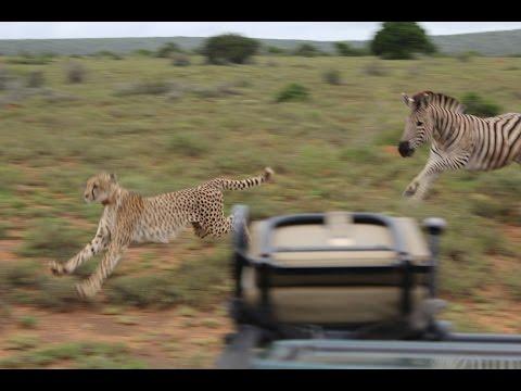 Zebra vs Cheetah