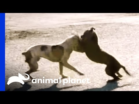 A Dog Fight Leaves Joe in Shock Pit Bulls and Parolees