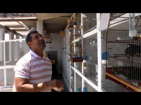 CRIAÇÃO DO SOMBRA 2012 FILHOTES PEQUENO NOS OVOS E ADUTOS
