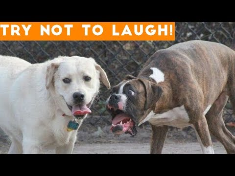 Xxx Mp4 Try Not To Laugh At This Ultimate Funny Dog Video Compilation Funny Pet Videos 3gp Sex