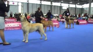 European DogShow 2014 S/A Boerboel
