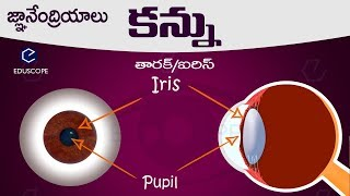 మానవుని కన్ను: human eye in telugu :TET DSC SGT Biology (తెలుగు) general science in everyday life
