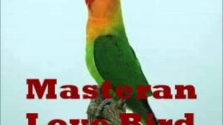 Masteran Burung Love Bird Ngekek Panjang Bikin Bising Download Mp3 Mp4 3GP HD Video