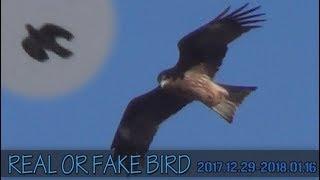 Rear or Fake Bird 2017/12/29 - 2018/01/16