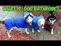 My Husky Trying Dog Bathrobe for the First Time