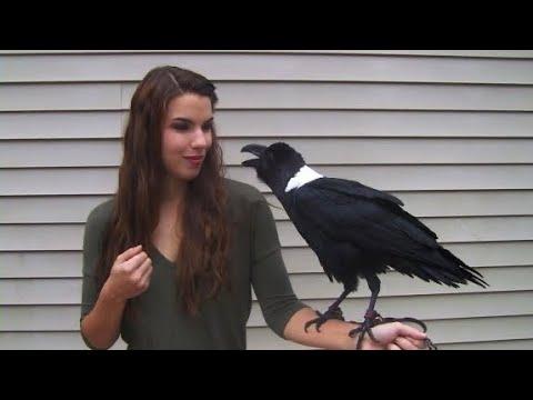 Ravens can talk!
