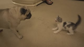 PUG MEETS NEW KITTEN FOR THE FIRST TIME!!