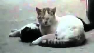 سبحان الله القط يبكي على فراق أنثاه التي ماتت ChâLLêNGêR