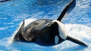 Killer Whale Tilikum That Attacked Sea World Trainer Has Died