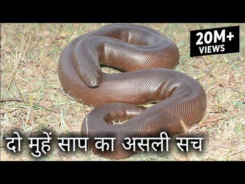 Xxx Mp4 25 करोड़ में बिकने वाला दो मुहां साप का असली सच Rescue Red Sand Boa From Ahmednagar 3gp Sex