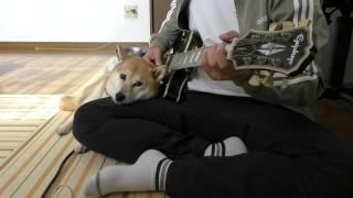 柴犬小春 撮影中に地震速報(詳細は概要欄に記してあります)