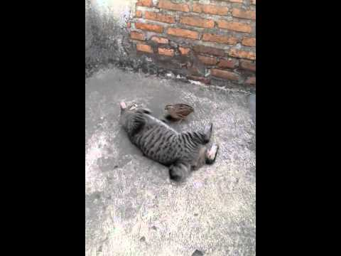 Kucing VS Anak ayam Hutan lucu banget