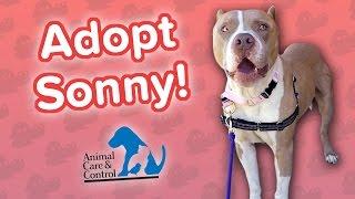 Adopt Sonny! // Pit Bull Mix // Adoption Featurette