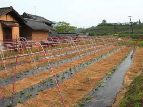 Cultivo de pepino no Japão