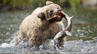PBS Nature Documentary - Salmon: Running the Gauntlet