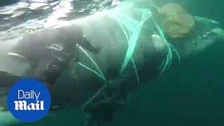 Moment diver tries to rescue a whale tangled in fishing nets - Daily Mail