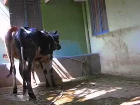 Xxx Mp4 『牛の交尾』 Bull Mating 3gp Sex