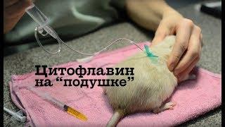 Укол крысе - цитофлавин