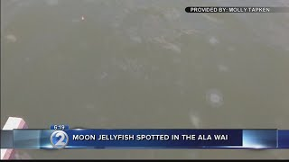 Moon jellyfish spotted in Ala Wai Canal