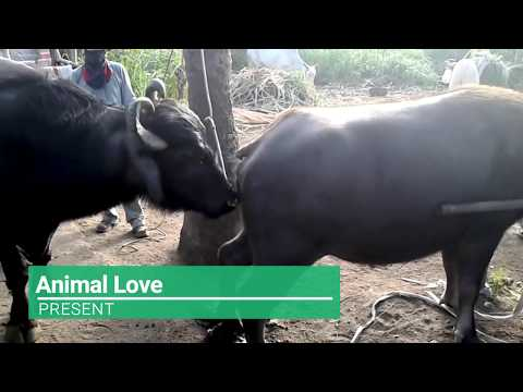 Xxx Mp4 Wow Amazing Man Breed Cow How To Bred Cows In My Country Part 2 3gp Sex