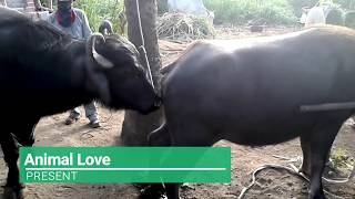 Wow! Amazing Man Breed Cow How to bred cows in my Country ( Part 2 )