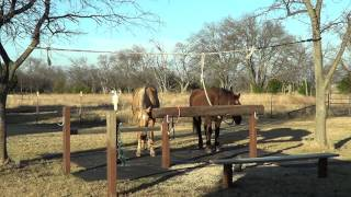 Equine Dentistry Floating Horse Teeth Part 1 of 6 - Horse Sedation & Recovery