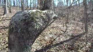 Indian Trail Tree - www.SeldomSeenSouth.com