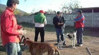 Springboks Carreras de Perros Galgo-Arquitectura Taller Tac-Talca.wmv