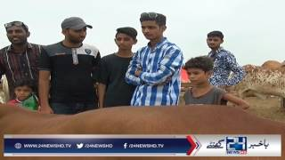 Prices of Qurbani animals in Karachi super highway mandi at its peak