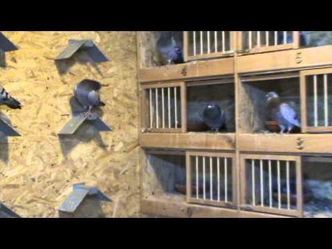 FCPR Bucuresti prezentare porumbei de matca dl Alexandru Cazacu 31 iulie 2013