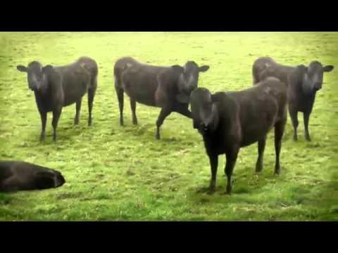 Những chú bò vui nhộn Funny cow