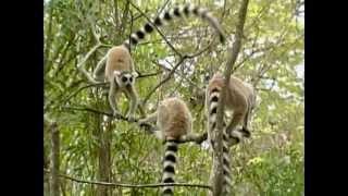 Be the Creature - Lemurs