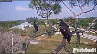 E12 Fledges-Southwest Florida Eagle Cam-March 12, 2019