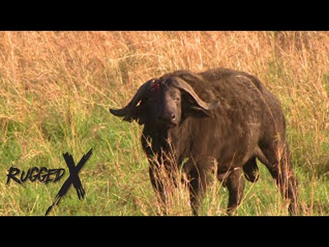 Cape Buffalo Hunting Multiple Kills With J. Alain Smith