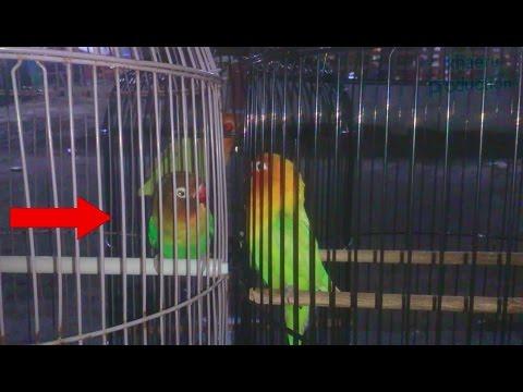 Love bird vs local import | Lovebird fighter import