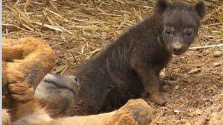 Lions destroy den of hyenas / Leones arruinan guarida de hienas