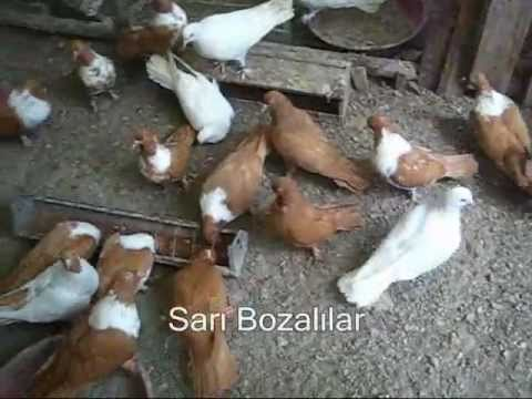 Turkish Pigeon.wmv