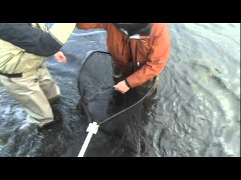 24. punda salmon in laxá river in Aðaldal