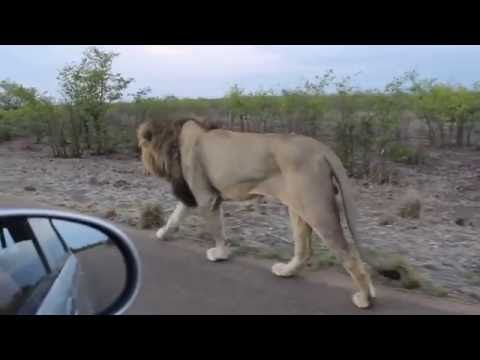 The king of the Jungle Do not tease Asiatic Lion Sasan Gir