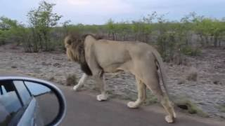 The king of the Jungle | Do not tease Asiatic Lion | Sasan Gir