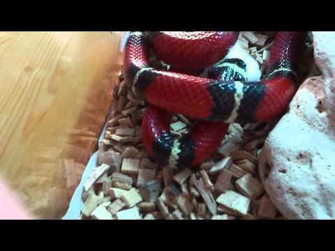 Mi serpiente de Coral Pocoyó cazando SENSIBLES no MIRAR