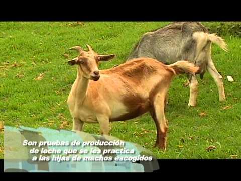 Veracruz Agropecuario Generalidades en el manejo de Ganado Caprino TVMÁS