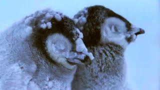 Penguin Chicks Struggle To Survive   Planet Earth   BBC Earth