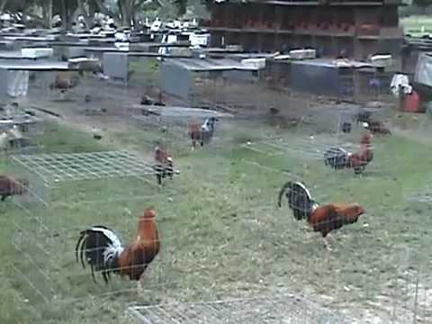Gallos de Pelea PALENQUE DE ORO VISITA A GRANJA GREER foro.mexicogallero