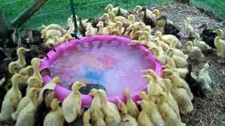 171 Ducklings Swimming In Their New Pool For The 1st Time #12 Raising Ducks Day 16