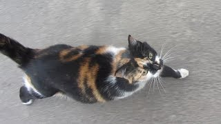 Pregnant cat meows on the street