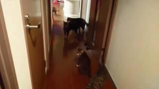 朝、私が寝室から出て来るのを出待ちするベンガル猫軍団